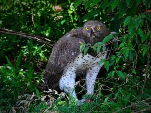 AD Comm_P Turner _Martial Eagle with kill
