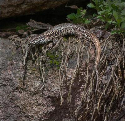 AD Comm_Sue Champion_Common Wall Lizard France