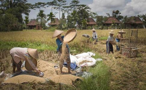 ad hcomm_vicky naudi_rice harvest