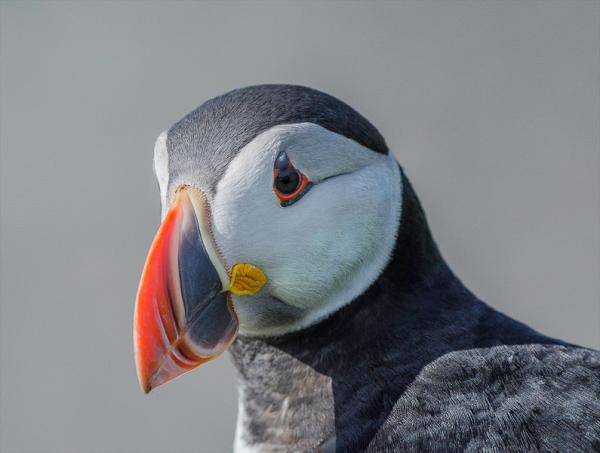 AD VHComm_J D Wild_Puffin