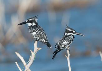 BD First_Owen Watkins_Pied kingfishers