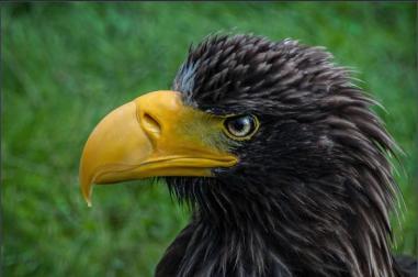 P Comm_Sue Champion_Stellers Sea Eagle