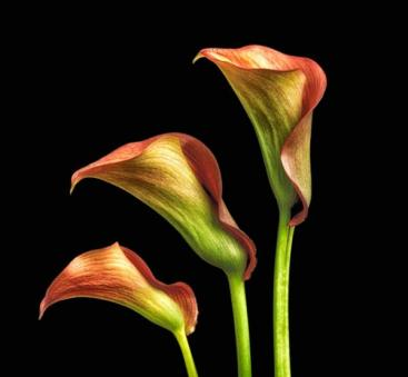 P First_J Wilding _Calla Lily Trio