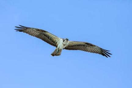 P HComm_Ray Groome_Osprey in Flight