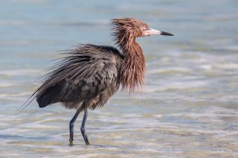 P 20 Points - Ray Groome - Reddish Egret