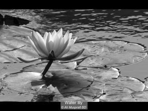 B 20 pts Ali Muspratt BD_Water lily