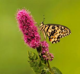 AD 20 Points - P Keegan - Butterfly resting on pink flower