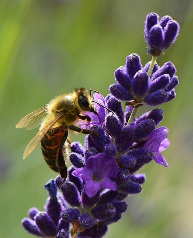 French Bee On Lavender John Hoyle 9