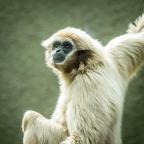 The Gibbon Gaze Ken Waldie 9
