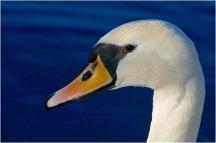 Mute Swan Rob Tarrant 9