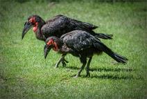 Southern Ground Hornbills Sue Champion 9