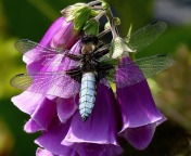 Broad-bodied Chaser Cyril Langman 9
